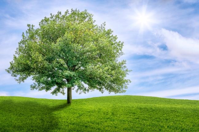 Old oak tree on a green meadow